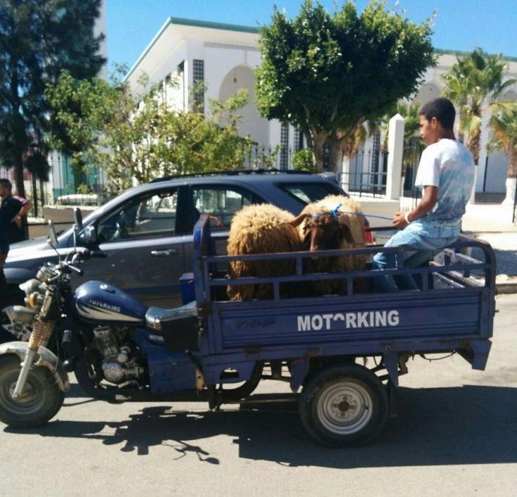 Tangier - Sheep