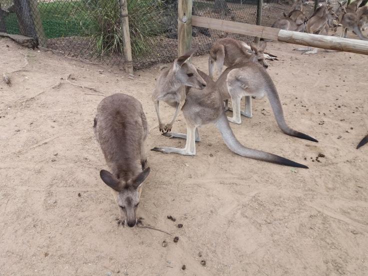 Brisbane1 Kangaroo2