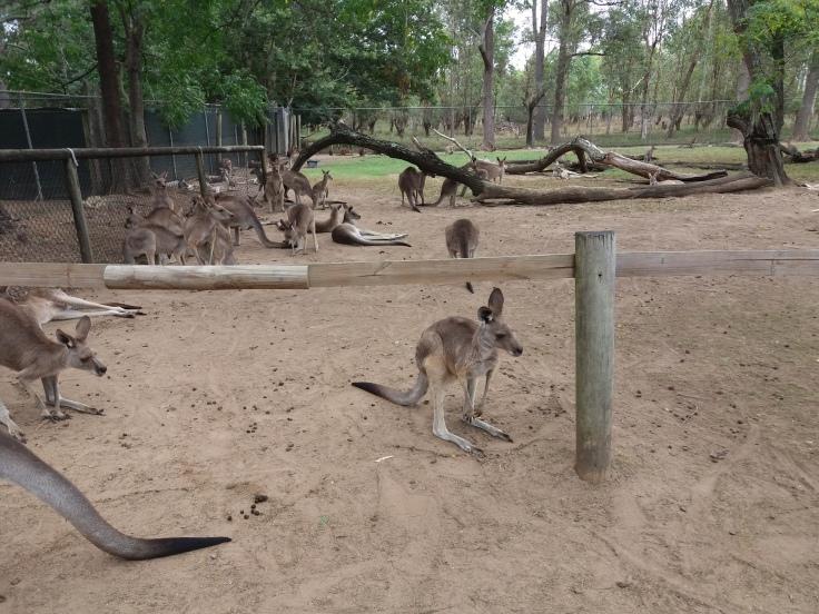Brisbane1 Kangaroo