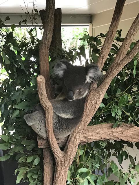 Brisbane1 Koala3
