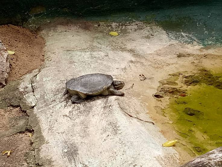 Brisbane1 Turtle