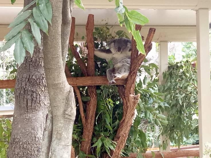 Brisbane1 Koala2
