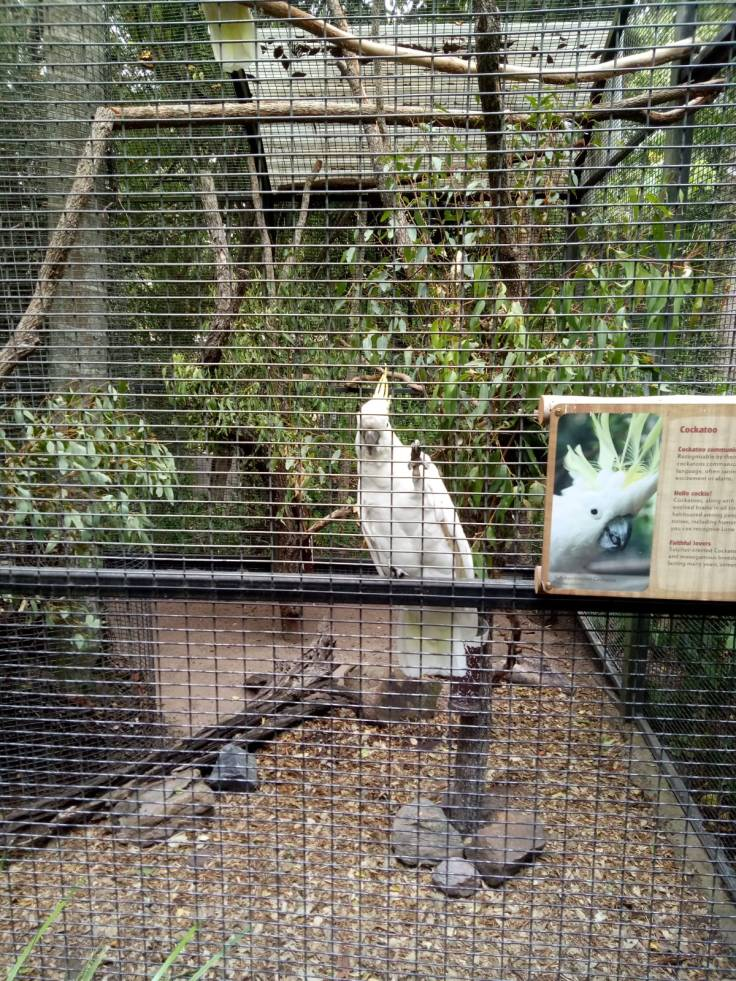 Brisbane1 Cockatoo