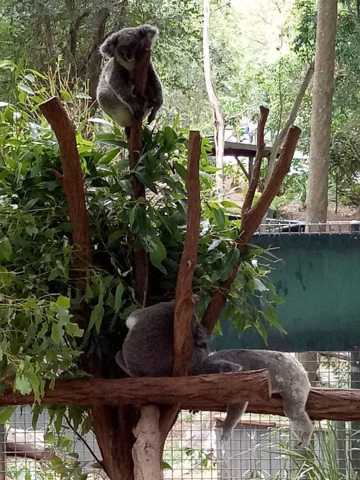 Brisbane1 Koala